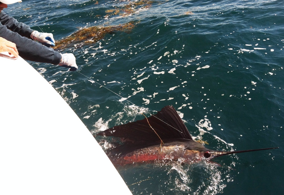 released sailfish